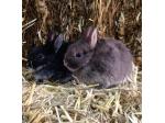 Hippity Hop Rabbit Stud - Mini Lop, Dwarf Lop & Netherland Dwarf Rabbit Breeder - NSW