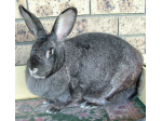Parejome Rabbit Stud -  Flemish Giant Rabbit Breeder - Southern Highlands, NSW