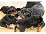 Rottgems - Rottweiler Breeder - Geraldton, WA