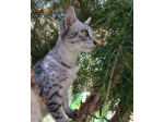 MisrMau - Egyptian Mau Cat Breeder - Melbourne, Victoria