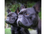 Koziam - Registered French Bulldog Breeder - Adelaide, SA