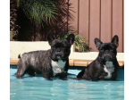 Keoiloa French Bulldogs & Krazystaff Staffordshire Bull Terriers - Registered Breeder - Sydney, NSW