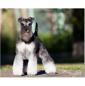 Registered Schnauzer Miniature Dog Breeders Australia