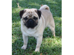 Rapturous Pugs - Pug Breeder - Cairns, Qld