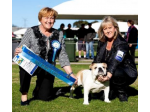 Bratrice - Australian Terrier, British Bulldog & French Bulldog Breeder - Sydney, NSW