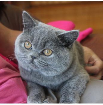 Kittens For Sale From Registered Cat Breeders In Tasmania Tas