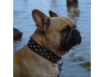Pupgaeverden - French Bulldog Breeder - Gold Coast, QLD