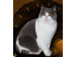 HiStyle Dream Cats - British Shorthair Cat Breeder - Victoria