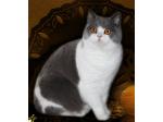 HiStyle Dream Cats - British Shorthair Cat Breeder - Victoria