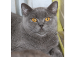 Leonix Cattery - British Shorthair Cat Breeder - Perth, WA