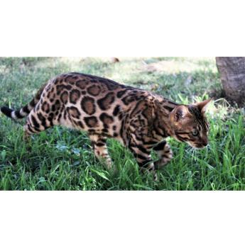 ENVE Bengals - Bengal Cat Breeder