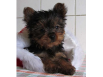 Yarrabell Yorkies - Yorkshire Terrier Breeder - Brisbane, QLD