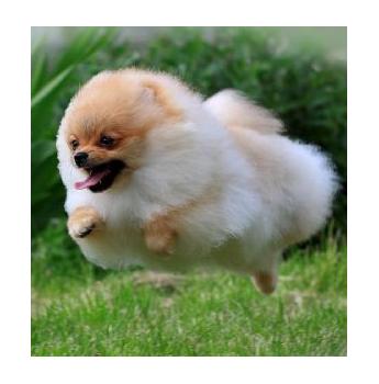 Lacochet Pomeranians - Pomeranian Breeder - Bankstown NSW