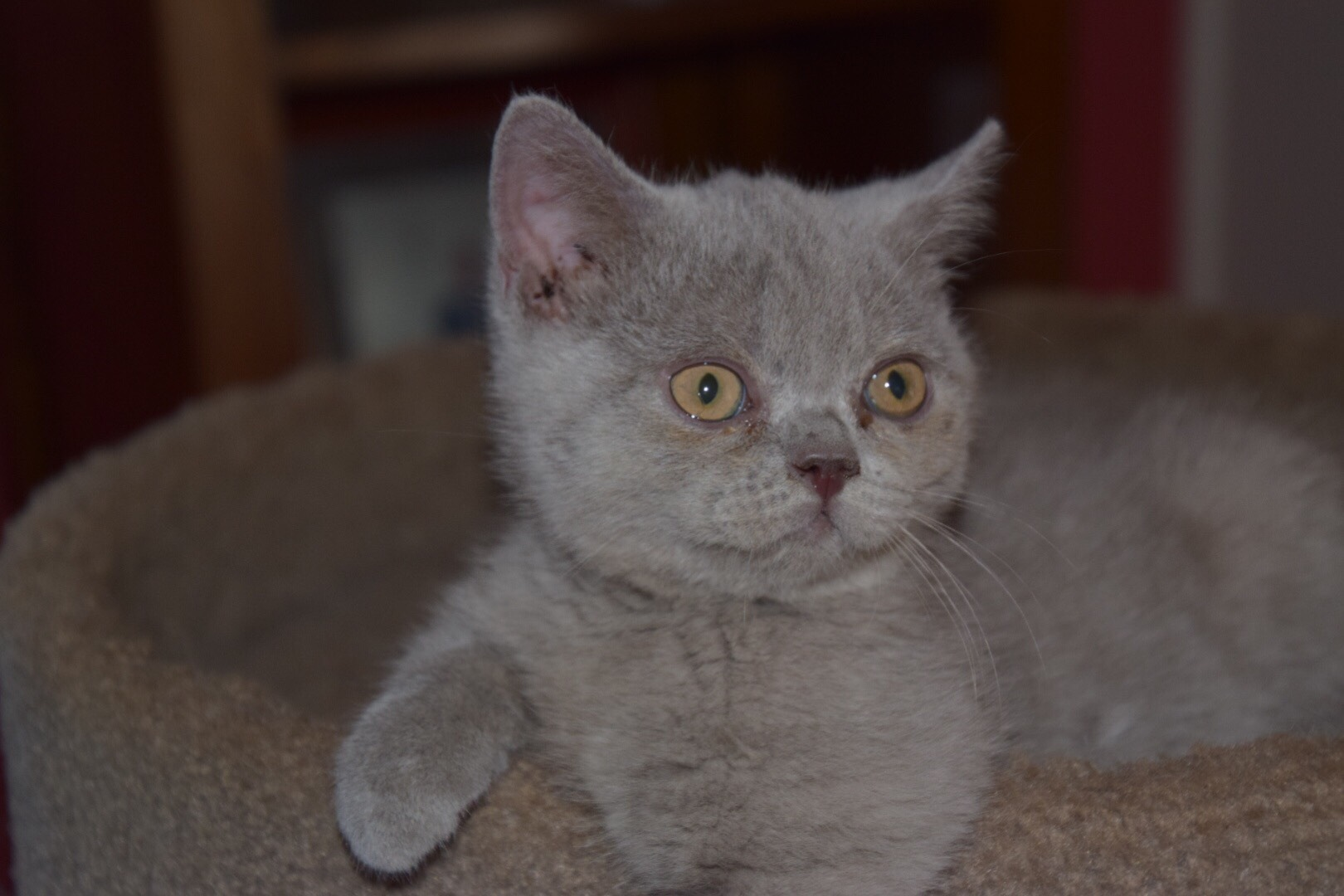 Lilac kitten gallery image
