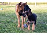 Tuabu German Shepherds - German Shepherd Breeder - Tasmania