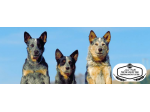 Australian Cattle Dog Land - Australian Cattle Dog Lovers - Advice & Information