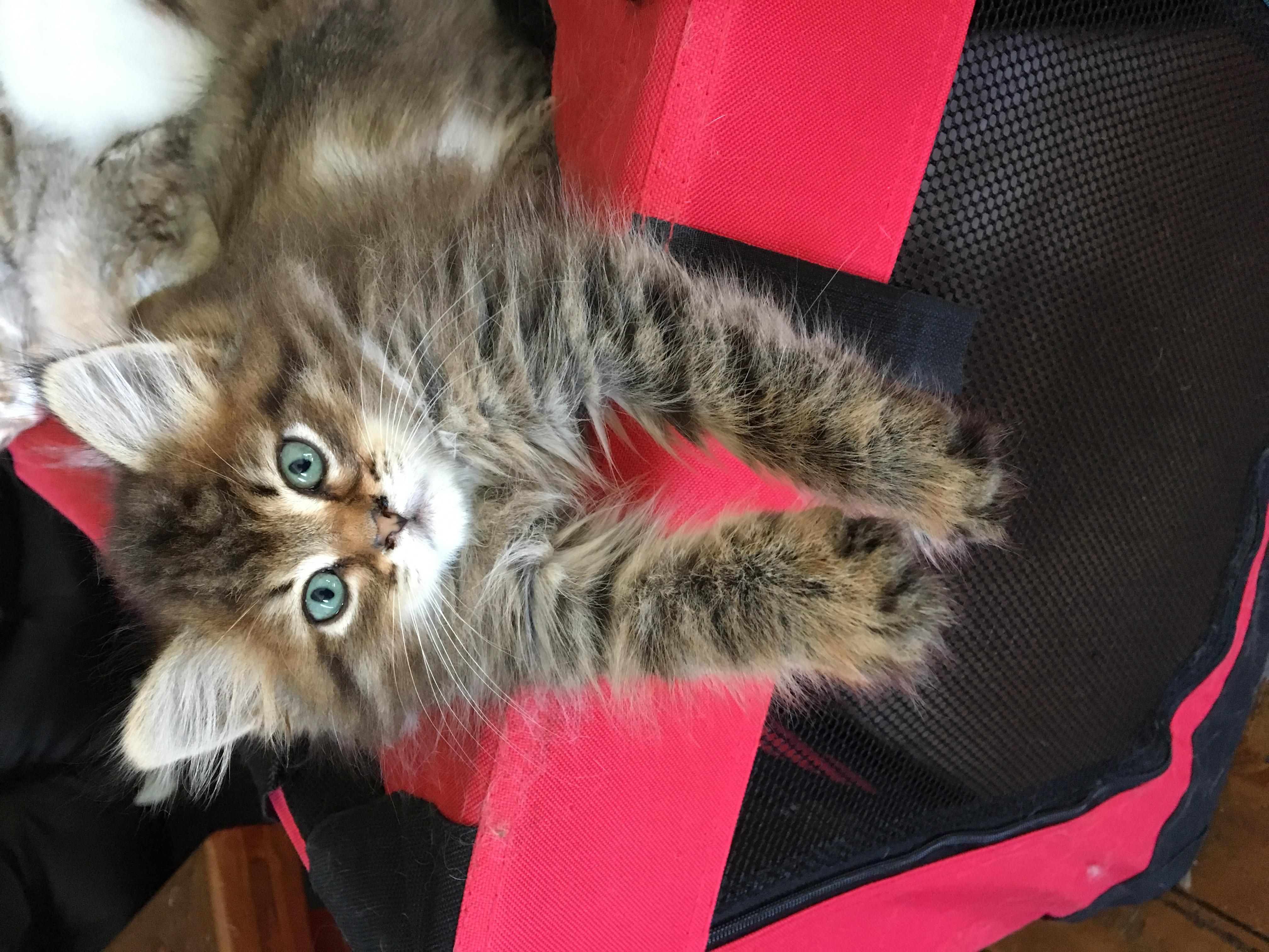 Cat Adoption Tasmania