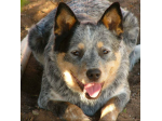 Ferona Kennels - Australian Cattle Dog, Rough Collie & Pomeranian Breeder - Nr Yass, NSW