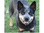 Cleverblue - Australian Cattle Dog Breeder - Toowoomba, QLD