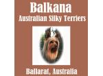 Balkana Kennels - Australian Silky Terrier Breeder - Ballarat, VIC