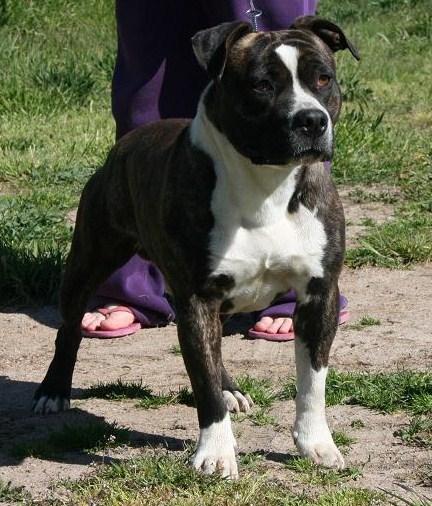 Rebbull Kennels American Staffordshire Terrier Breeder