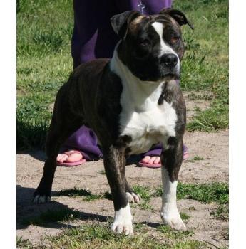 Rebbull Kennels American Staffordshire Terrier Breeder Bathurst Nsw