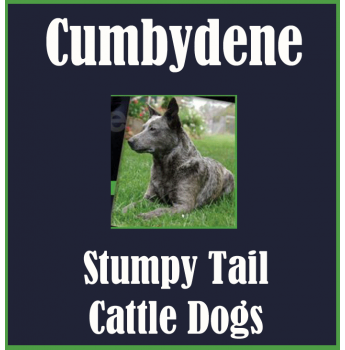 Wazwallaby Australian Cattle Dog Breeder Childers Qld