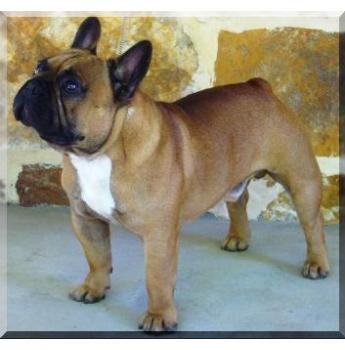 Frogwyck Kennels - French Bulldog Breeder - Kurrajong, NSW