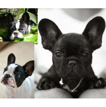 French Bulldog Breeders Australia | French Bulldog Info & puppies