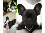 French Bulldog Club of NSW Inc