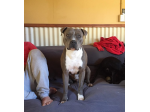 Sterlingblu - American Staffordshire Terrier Breeder - Mount Morgan, QLD