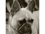 Kiangsi Kennels - French Bulldog Breeder - Adelaide, SA