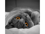 Aslanton - British Shorthair Cat breeder - Lachlan, Tasmania