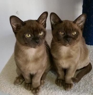 Natmac Burmese - Burmese Cats Kittens Hobby Registered Breeder