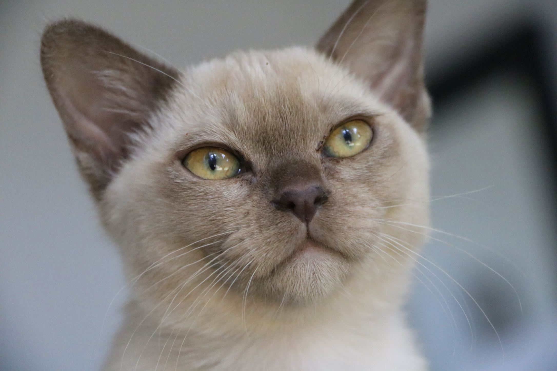 Villanev Pedigree Burmese Breeder gallery image
