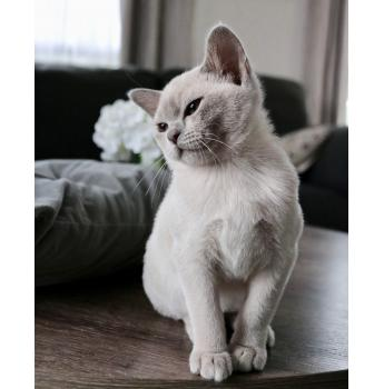 Villanev Pedigree Burmese Breeder Melbourne