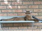Akila  Abyssinian - Cat Breeder -  Brisbane, Queensland