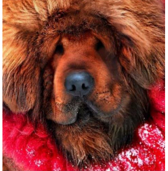 Registered Tibetan Mastiff Dog Breeders Australia