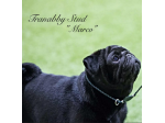 Tranabby Stud - Pug & French Bulldog Breeder - Queensland
