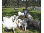 Plumbago Mini Goat Stud & Pygmies - Registered Goat Breeder - Perth, WA