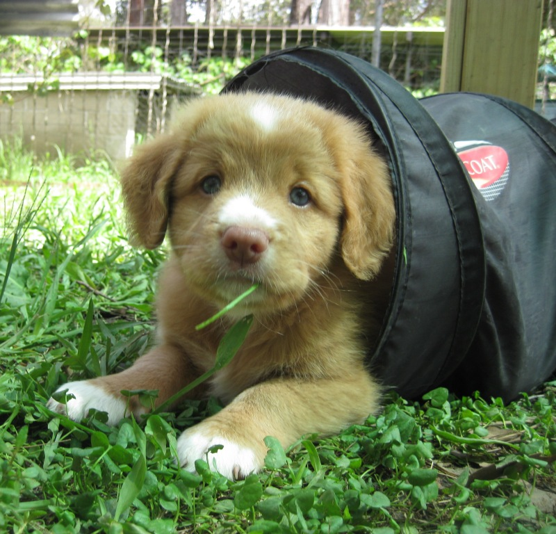7 Week old Toller puppy gallery image