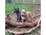 Billiblu Staffordshire Bull Terriers