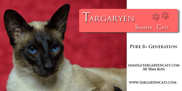 Pure 8 Generation Siamese Cats and Kittens. gallery image