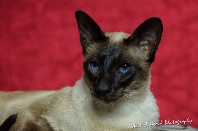 Pure 8 Generation Siamese cats and Kittens.