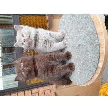 BOYDVILLE - British Shorthair Cat Breeder, Tasmania