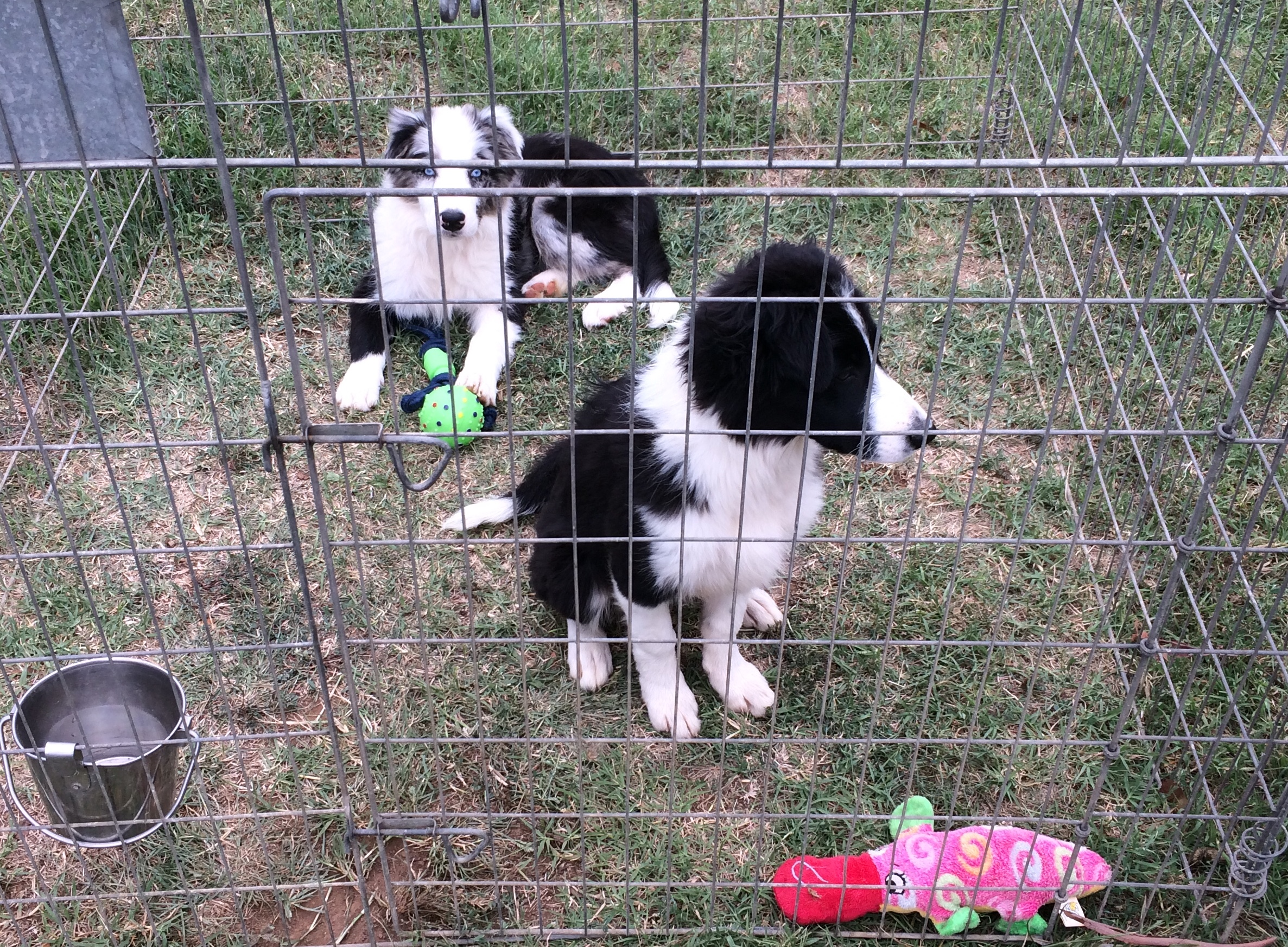 Carly and blue merle  gallery image