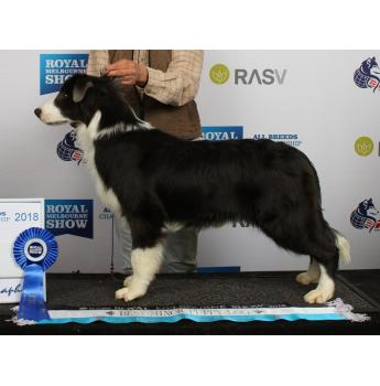 Border Collie Breeders Australia Border Collie Info Puppies