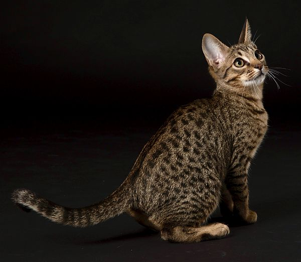 Tawny spotted Ocicat from Oz Catz gallery image
