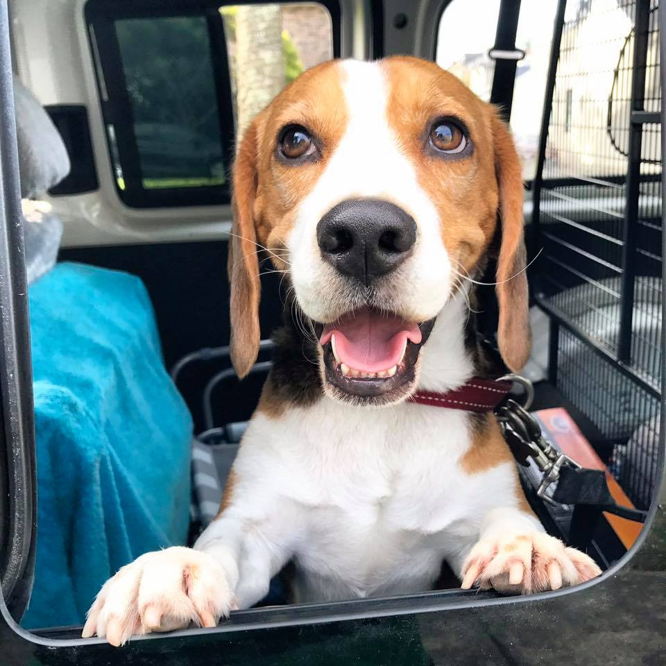 Charlie beagle being chauffeured to the dog park! gallery image