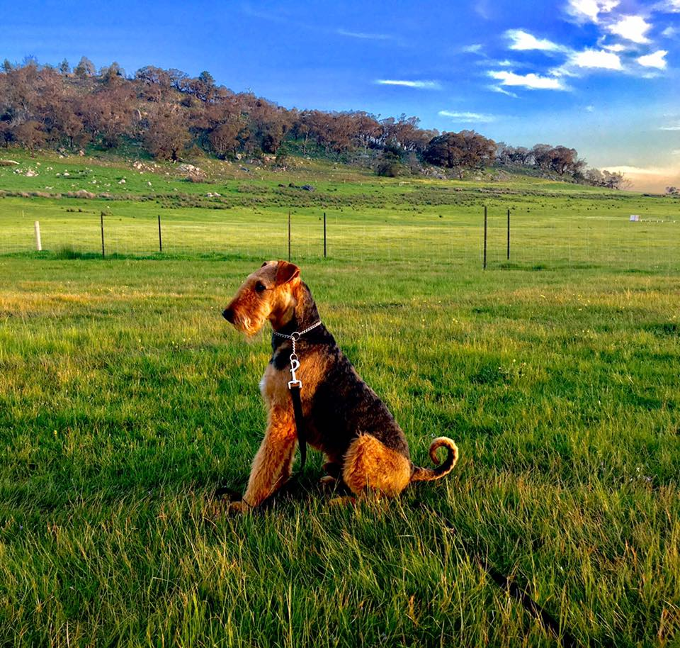 Yorkpark Airedale Timothy The Assistance Airedale gallery image
